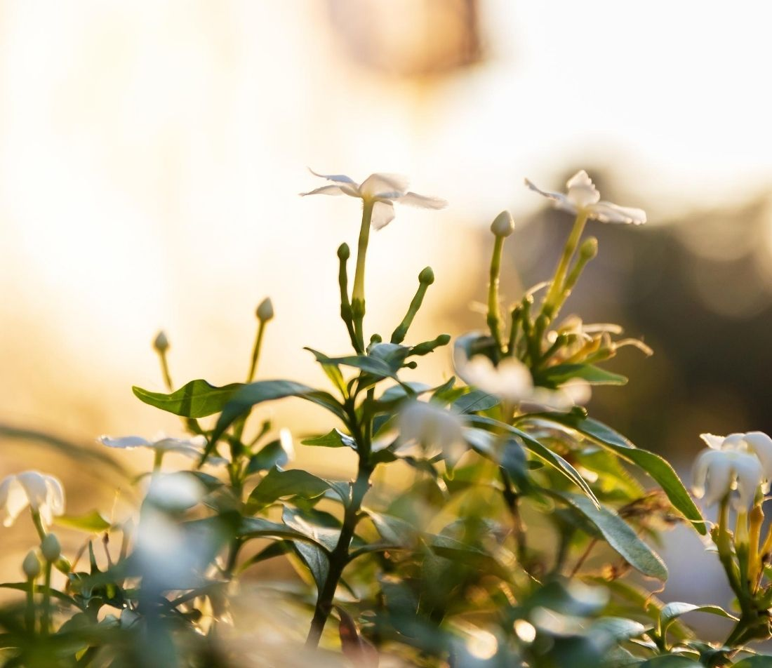 Gardenie Foto: AdobeStock_pjjaruwan