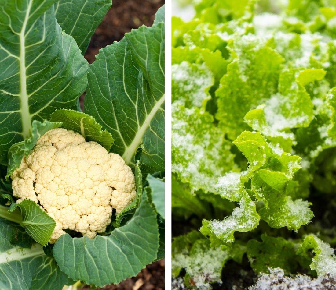 Gemüse Aussaat im Herbst  Foto: AdobeStock_Robyn_Charnley+AdobeStock_Payllik