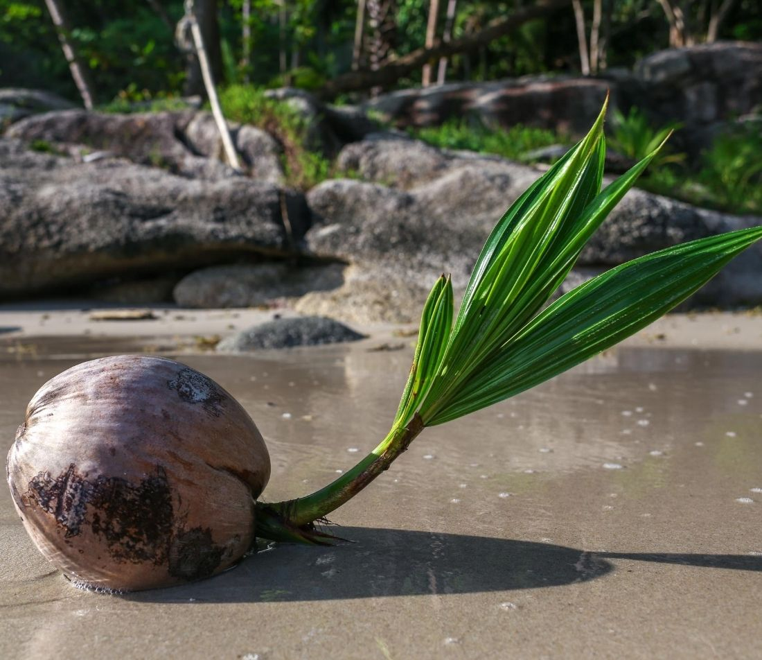 Kokospalme Foto: AdobeStock_Skaniai