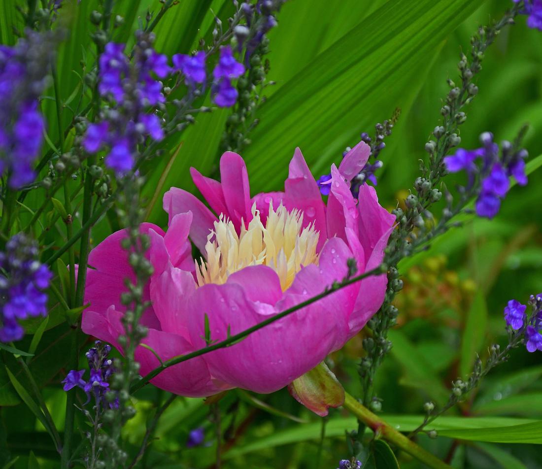 Pfingstrosen pflanzen Foto: AdobeStock_Garden Guru