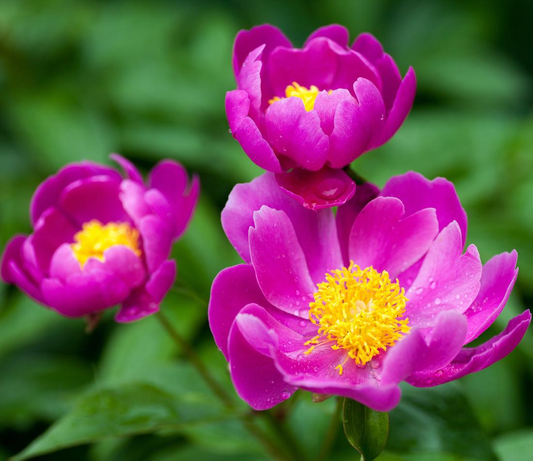 Pfingstrosen pflanzen Foto: AdobeStock_Miyuki Satake