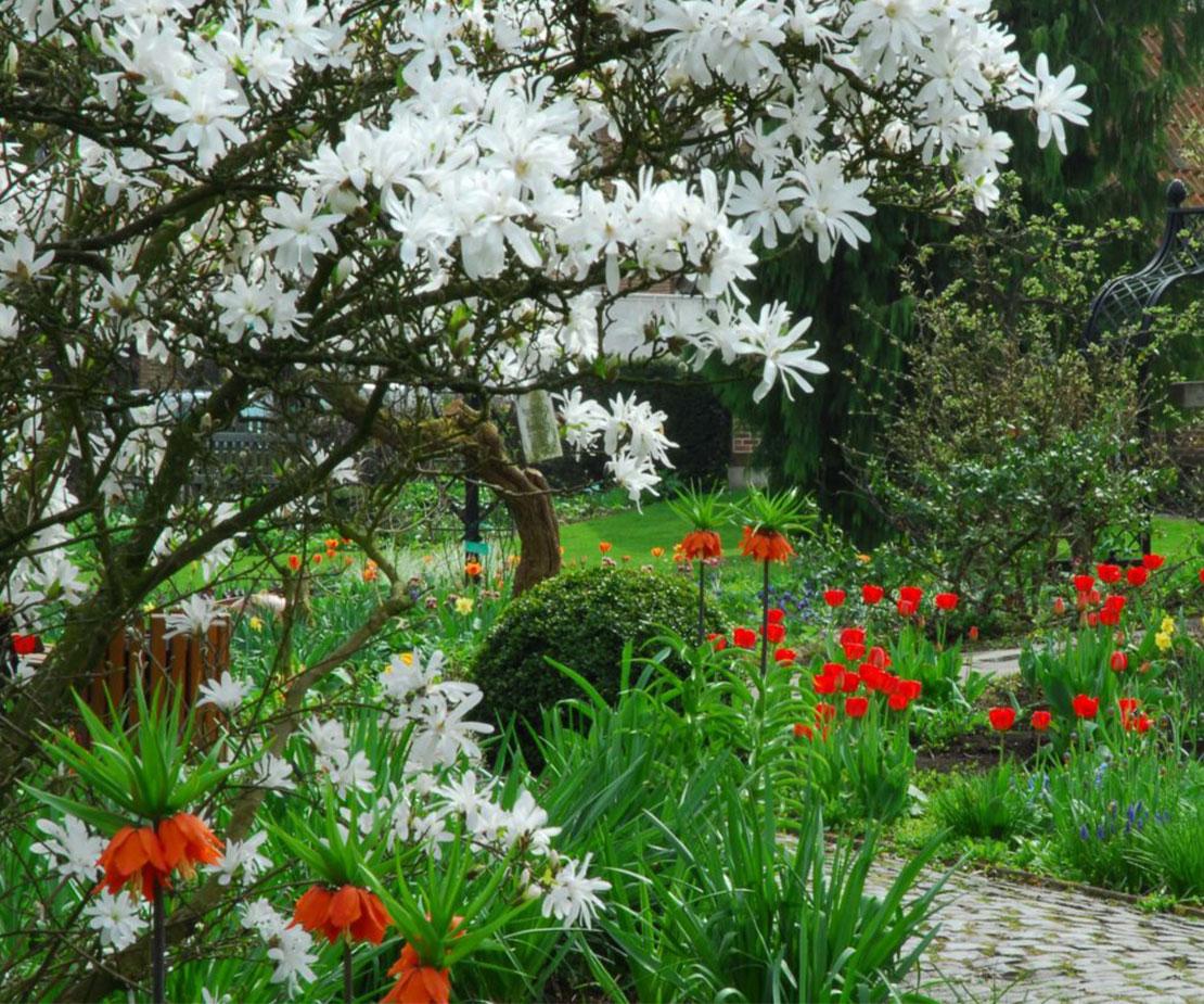 Magnolie mit weißen Sternblüten
