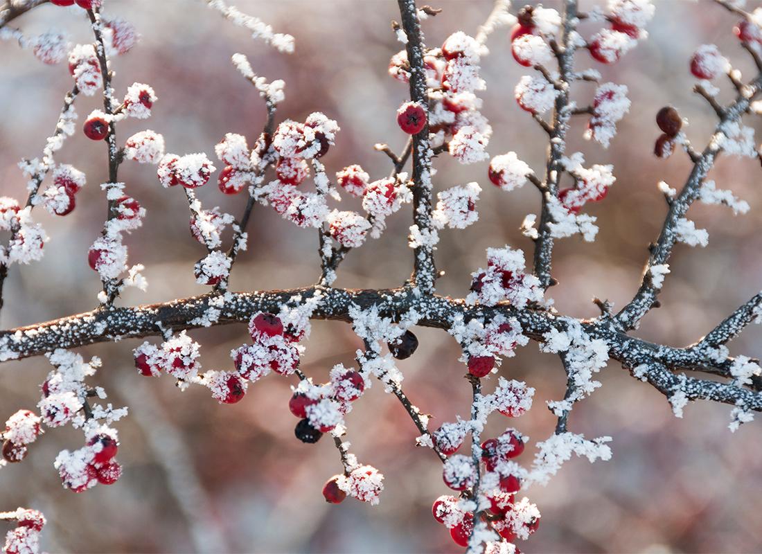 Ilex-Sorten Foto: AdobeStock_ivananikolic