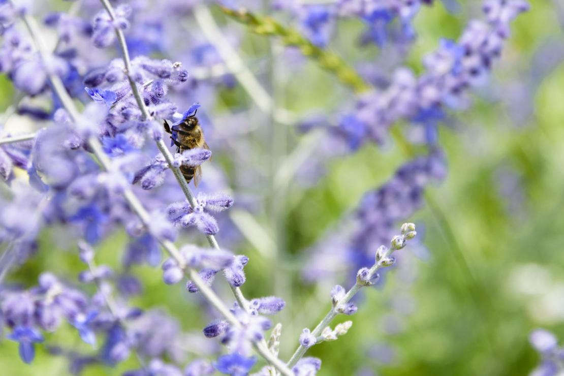 Blauraute mit Biene