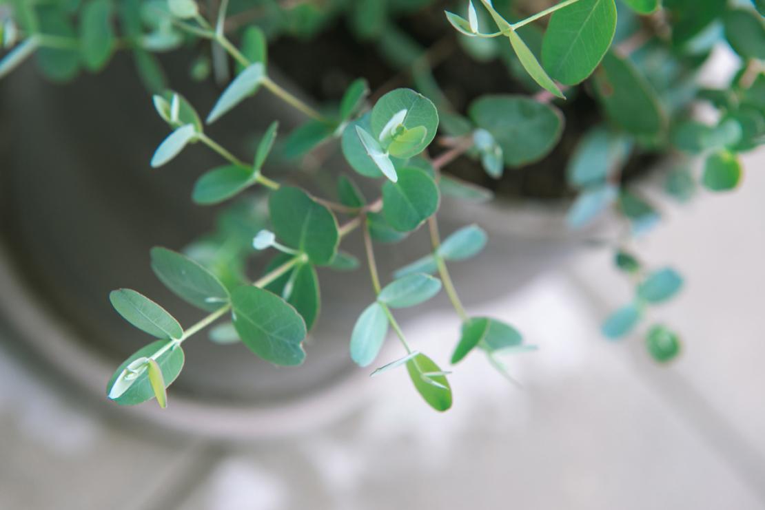 Winterharter Eukalyptus: Eucalyptus gunnii in einem Pflanzgefäß