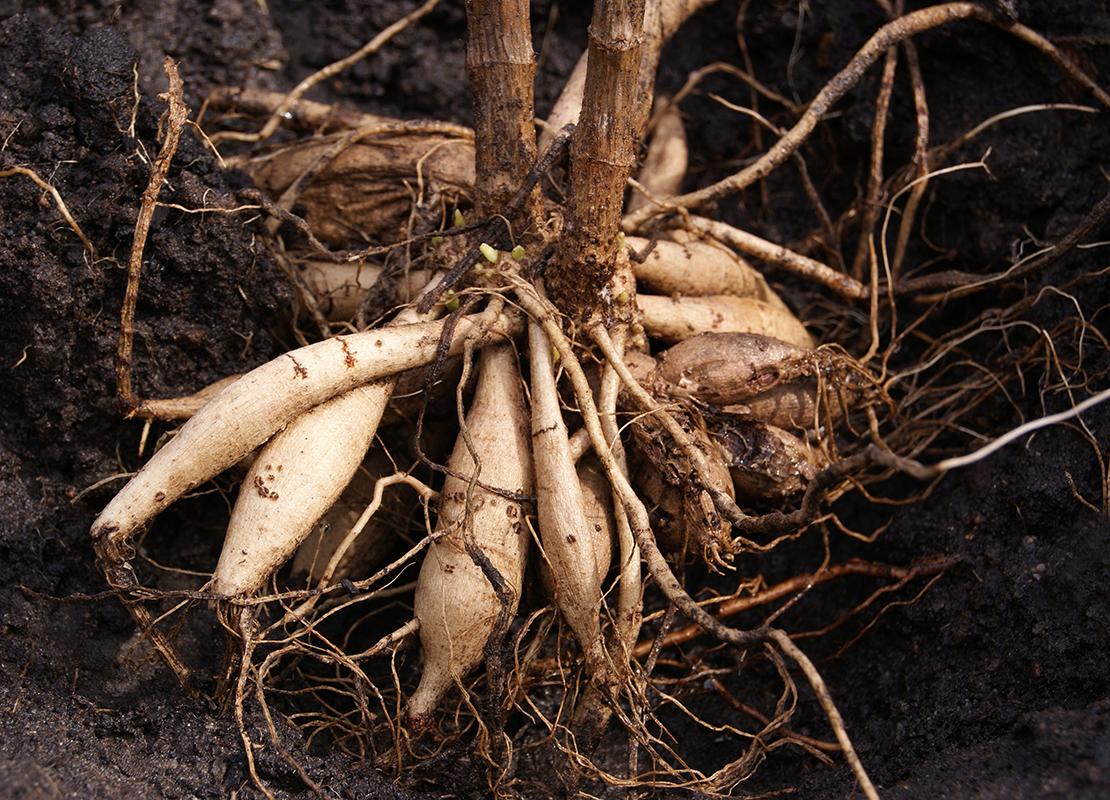 Dahlien pflanzen und pflegen Foto: AdobeStock_Olga
