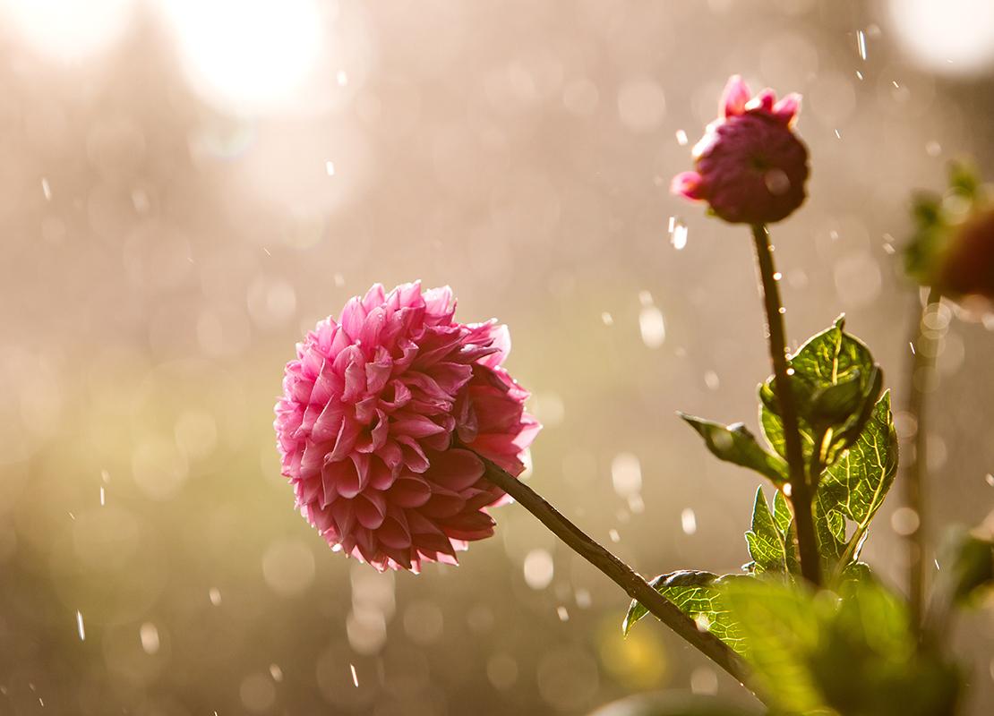 Dahlien pflanzen und pflegen Foto: AdobeStock_joern_gebhardt