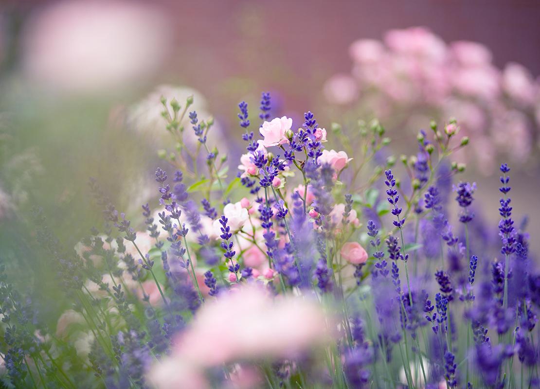 Lavendel pflanzen Foto: AdobeStock_Claudia Marx