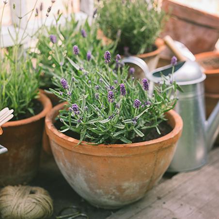 Lavendel pflanzen Foto: AdobeStock_petropavlovskaja