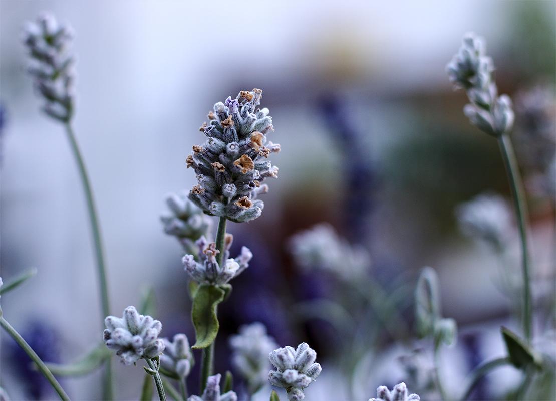 Lavendel schneiden Foto: AdobeStock_Christian Gernert