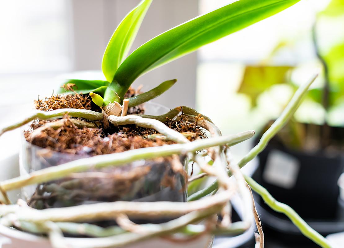 Orchideen umtopfen Foto: AdobeStock_Andriy Blokhin