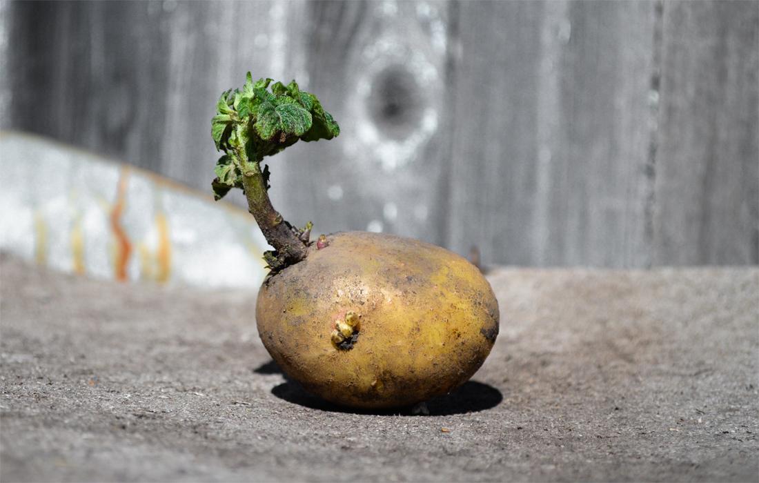 Kartoffel mit einem neuen Spross - Foto: AdobeStock_zamury