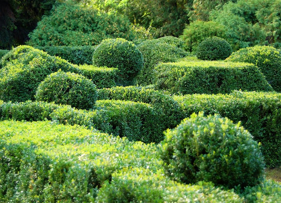 Buchsbaum schneiden Foto: AdobeStock_Unkas Photo