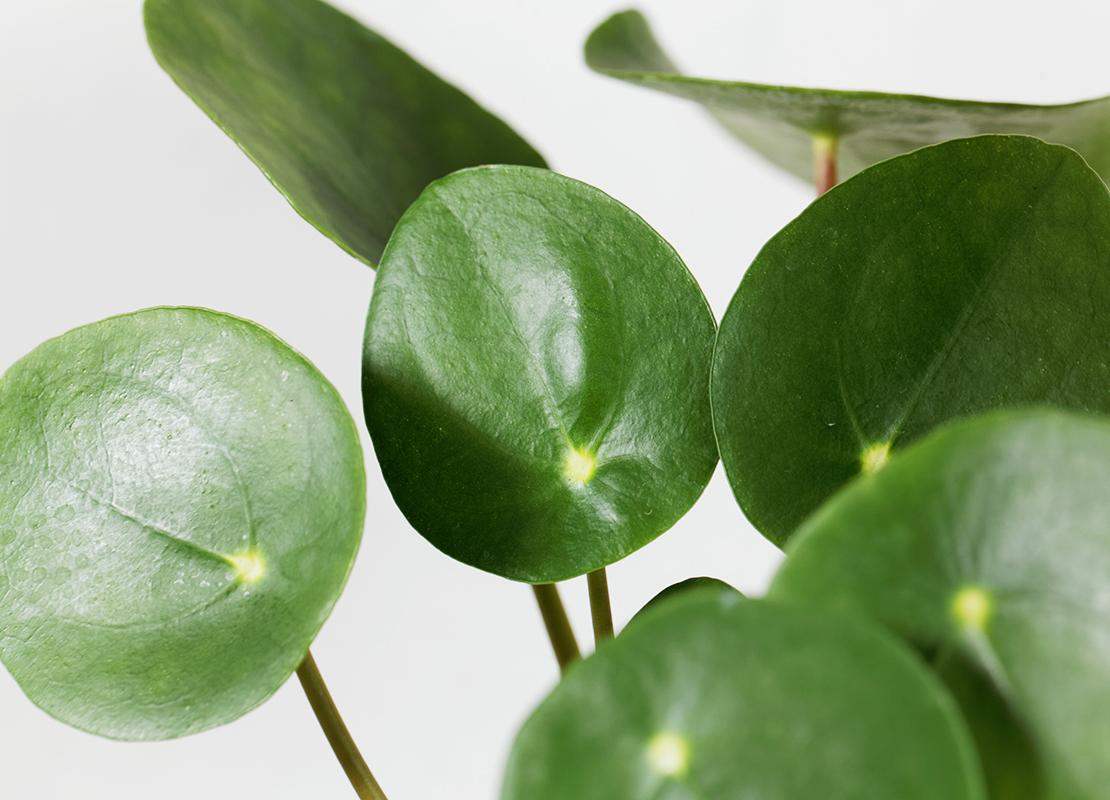Pflegeleichte Zimmerpflanzen für Anfänger Foto: AdobeStock_ChrWeiss