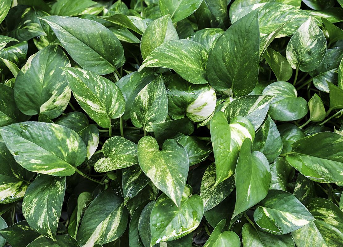 Pflegeleichte Zimmerpflanzen für Anfänger Foto: AdobeStock_Myimagine