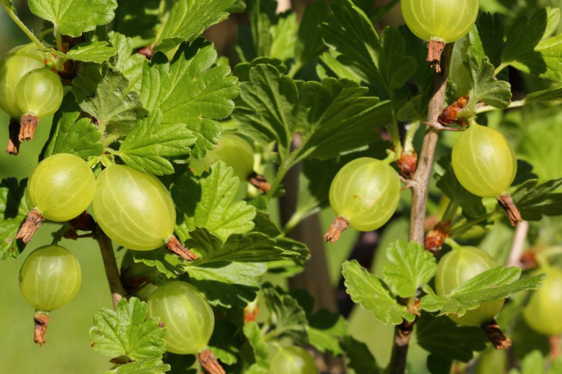 Eine Stachelbeere mit gelben Früchten. Foto: iStock_pejft