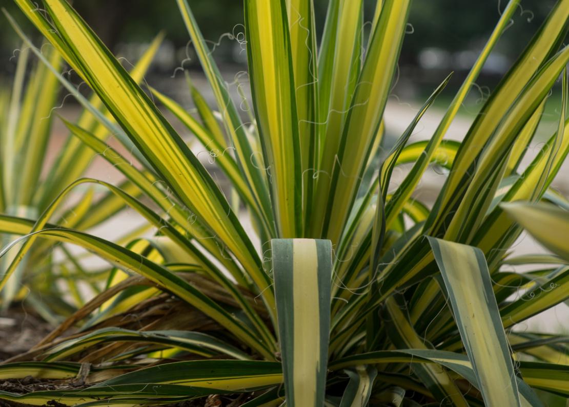 Die Gelbbunte Palmlilie 'Color Guard' hat besonders zierende Blätter. - Foto: AdobeStock_fotocinemapro