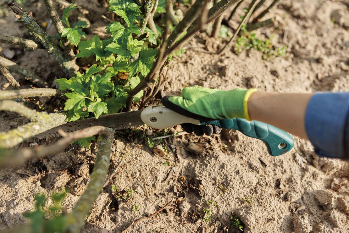 Alte, abgetragene Bodentriebe werden mit einer Säge bodennah entfernt. Foto: iStock_Valeriy_G
