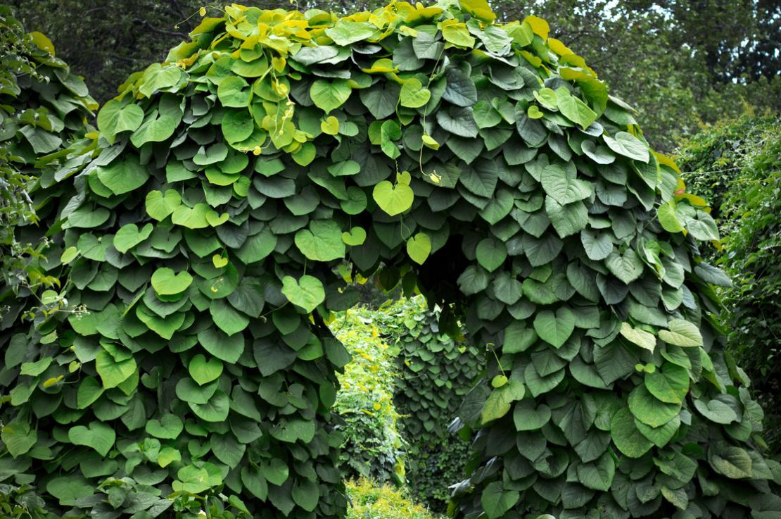 Die Pfeifenwinde ist eine üppig wachsende Kletterpflanze. - Foto: iStock_MaYcaL